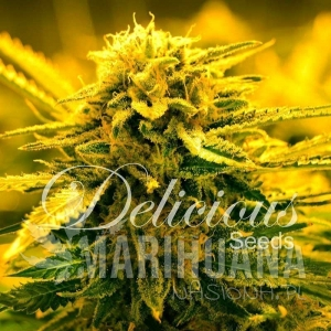 Sugar Black Rose Auto - DELICOUS SEEDS