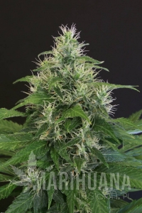 Lemon Candy - EXOTIC SEED