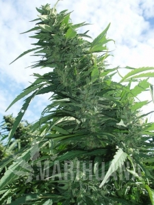 GREEN DEVIL GENETICS - Margoot