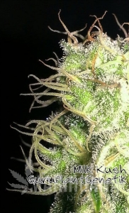 Biological Seeds - Kush Milk