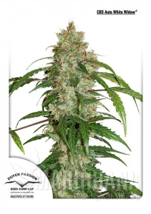 CBD Auto White Widow® - DUTCH PASSION