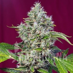 SWEET SEEDS  - San Fernando Lemon Kush