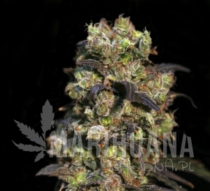 Biological Seeds - Pink Doctor CBD