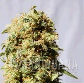 Biological Seeds -  Auto AK Bio