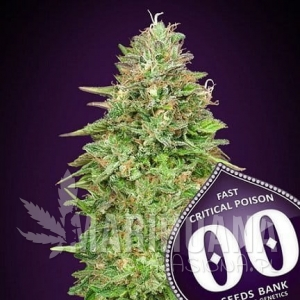Critical Poison Fast Version - 00 SEEDS BANK
