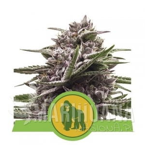 Royal Gorilla Automatic 1+1 - ROYAL QUEEN SEEDS