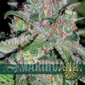 Vision Seeds -Doctor Jamaica