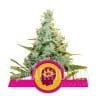 AMG - Amnesia Mac Ganja 1+1 - ROYAL QUEEN SEEDS