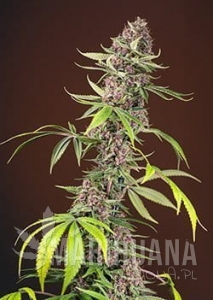 Red Mandarine F1 Fast Version - SWEET SEEDS