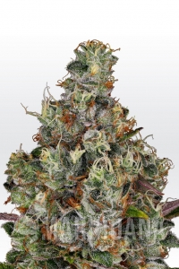 Rainbow Road - Paradise Seeds