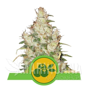 Haze Berry Automatic 1+1 - ROYAL QUEEN SEEDS