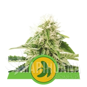 Fat Banana Automatic - ROYAL QUEEN SEEDS 1 + 1