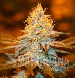 Strawberry Glue - T.H. SEEDS