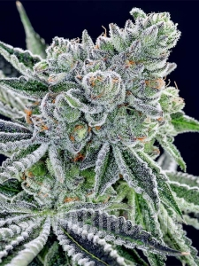 Sour Betty - ANESIA SEEDS