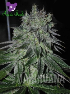Fast Caramelic - ANESIA SEEDS
