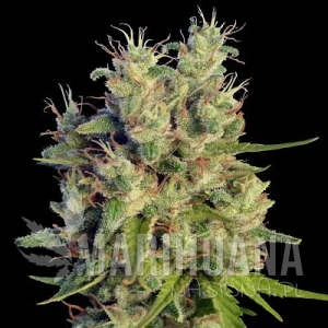 Super Malawi Haze - ACE SEEDS