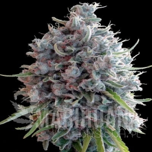 Killer A5 Haze - ACE SEEDS