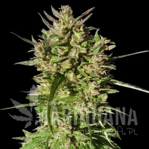 Honduras Breeze - ACE SEEDS