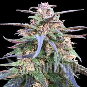 Zamal Bliss - ACE SEEDS