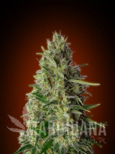 ADVANCED SEEDS - Kali 47