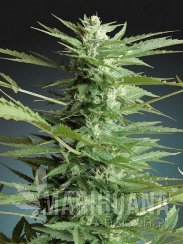 ADVANCED SEEDS - Sweet Dwarf Automatic