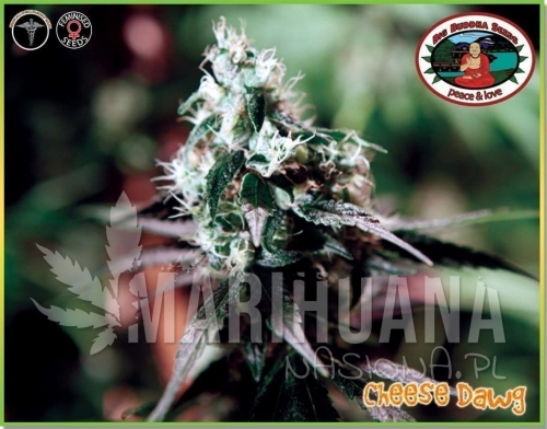 BIG BUDDHA SEEDS - Cheese Dawg
