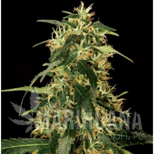 THE BULLDOG SEEDS - Silver Star Haze