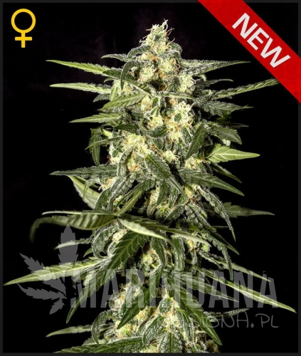 GREEN HOUSE SEEDS - Jack Herer Auto