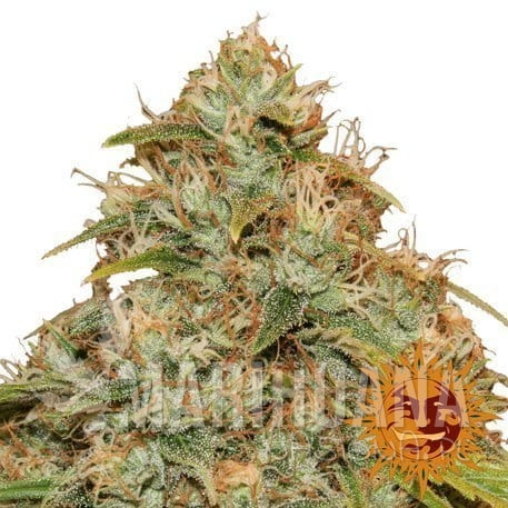 cbd-lemon-potion-auto_1_056471.jpg