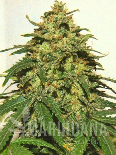 bongo-bulk-g13-auto-feminised-female-fem-feminized-cannabis-weed-ganja-bud-pot-seeds-main.jpg